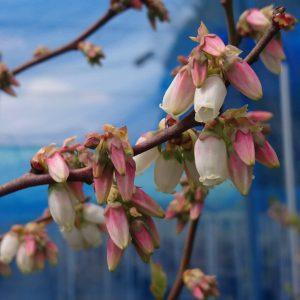 ブルーベリーデニーズブルーの花