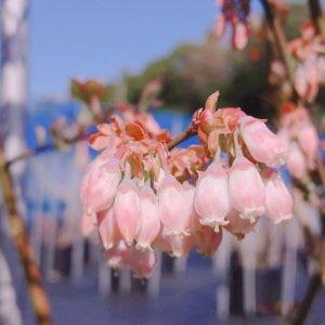 ブルーベリーティファブルーの花