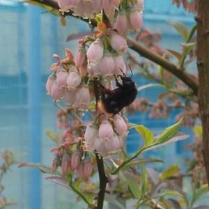 蜜を吸うクロマルハナバチ