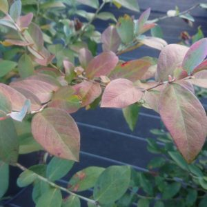 ブルーベリーの紅葉始まる