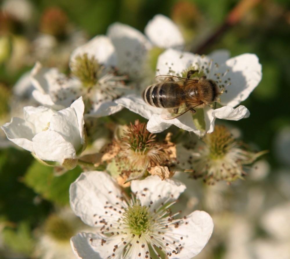 Carniolan and Italian honeybees (3/3)