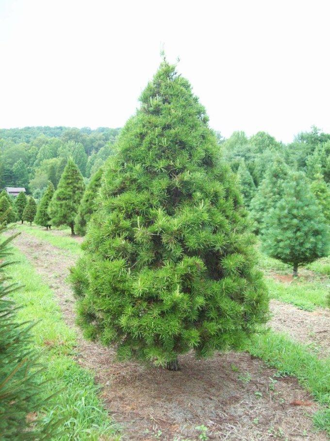 trees bluebird christmas tree farm - Bluebird Christmas Tree Farm