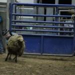 2019dayton FFA rodeo 39