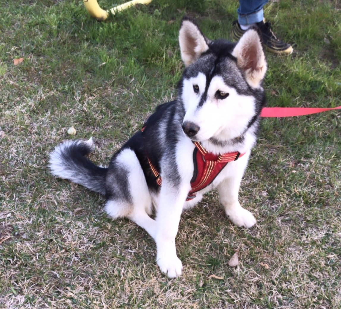LOST: Husky lost in the Cleveland area | Bluebonnet News