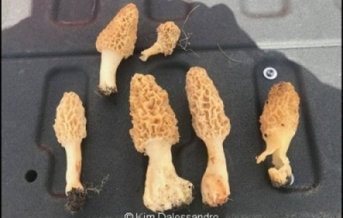 What Are the Tiny Black Bugs on Morels?