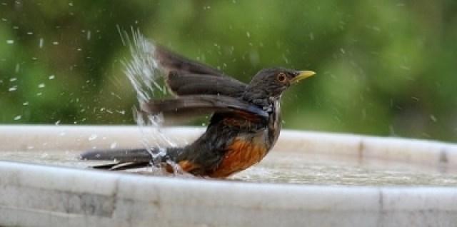 Ways to Prevent Red Algae in a Bird Bath
