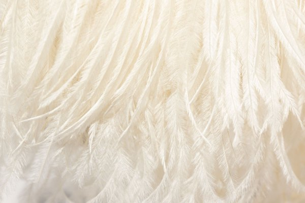Ivory Ostrich Feathers up close.