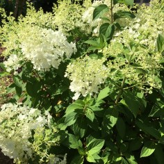 'Bobo' is my current favorite compact Panicle Hydrangea.