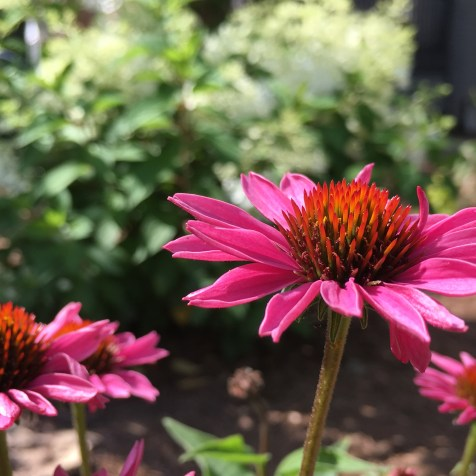 Echinacea 'PowWow' in Berry. I can never resist touching the prickly centers!