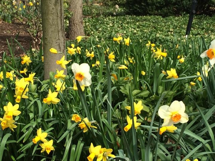 Photo of Daffodils