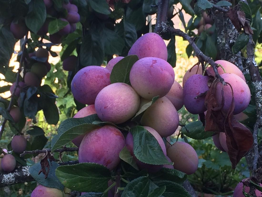 Photo of Victoria Plum fruits