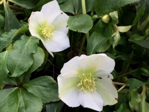 photo of Hellebores