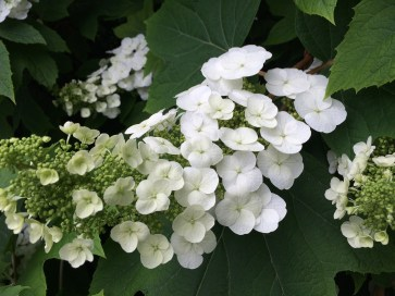 Photo of Oakleaf Hydrangea