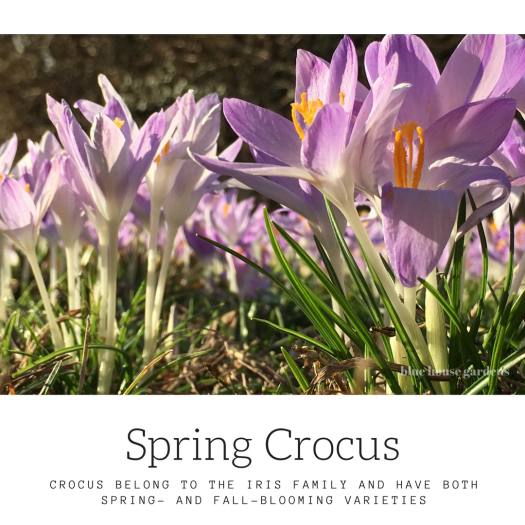 Photo of spring crocus