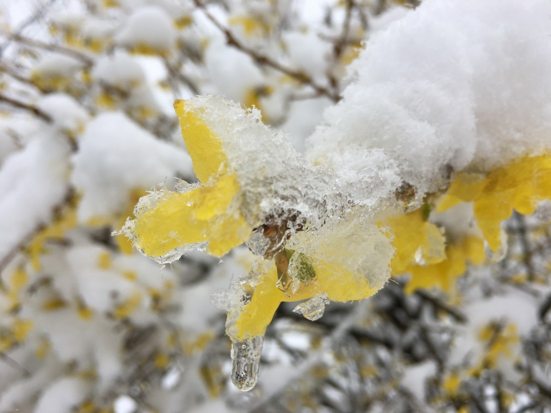 Photo of Forsythia in the Snow