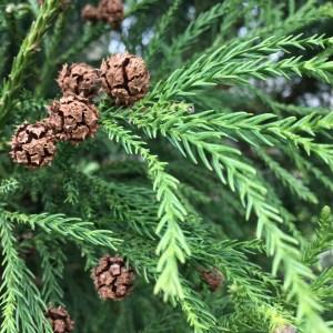 Photo of Cryptomeria Cones