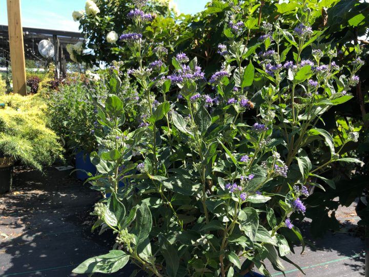Photo of Caryopteris shrub