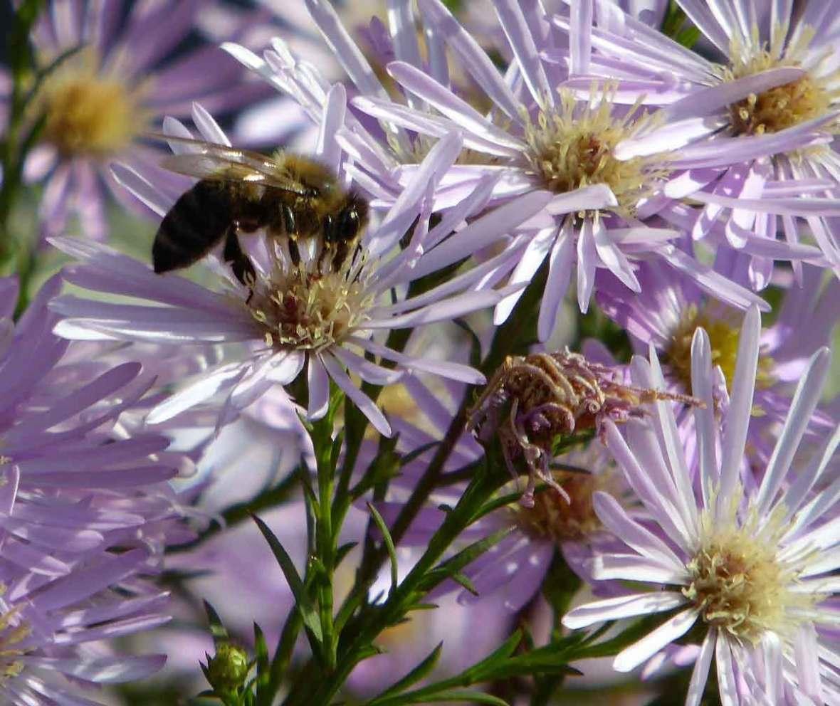 2017 Okt Biene-auf-Winteraster-in-Meran