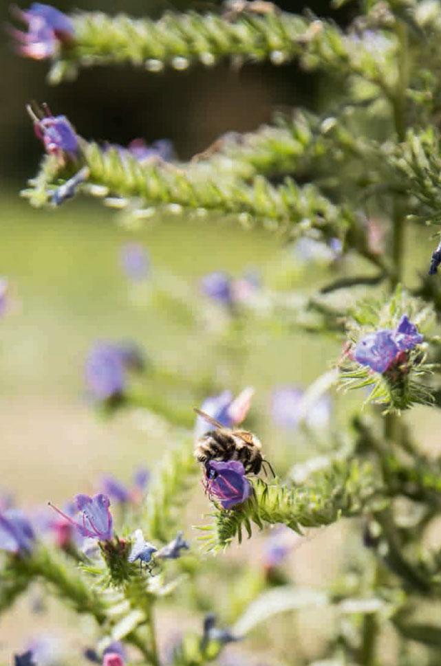 aus Stadtleben Natternkopf mit Wildbiene