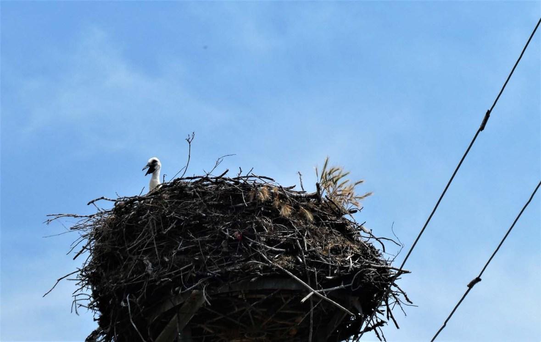 Storchenjunges in Nest