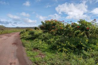 Grmi rumenih in oranžnih rož ob poti na Velikonočnem otoku