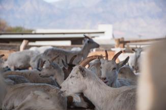 Koze na kozji farmi v Cafayate