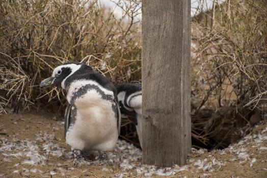 Magellanov pingvin od blizu