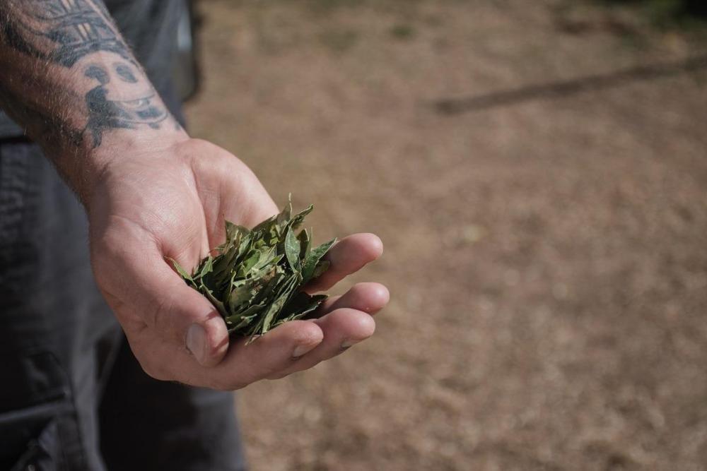 Polna pest listov koke