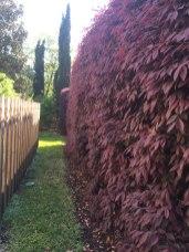 loropetalum-hedge