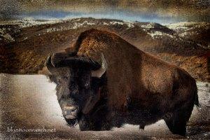 buffalomar2