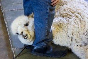 yoda-shearing