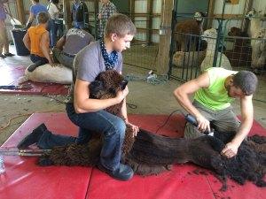 shearing15