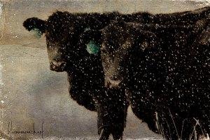 winter-cows