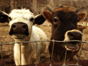 neighbor.cows-mar16