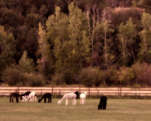 september-grazing-16