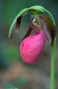 lady-slipper-flower-198x300