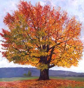 sugar-maple-tree-for-sugarlands