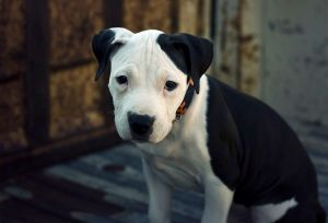 chew toys for pit bulls