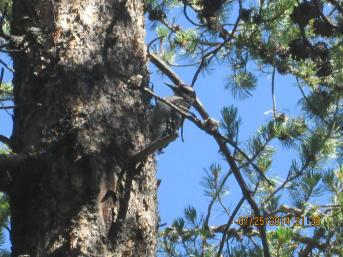 Hairy woodpecker in the Flat timber sale