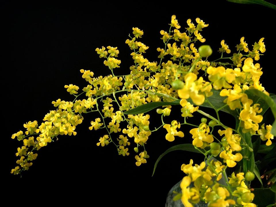 Resultado de imagem para Oncidium cheirophorum