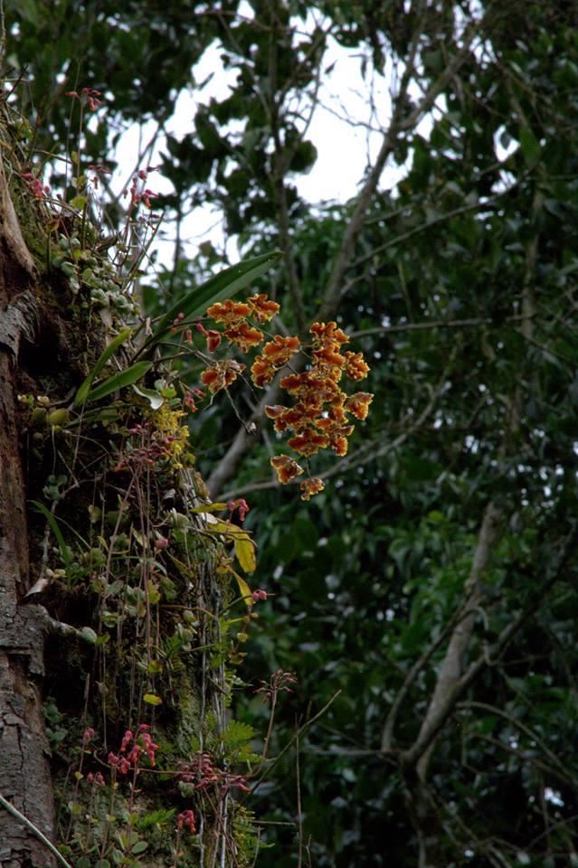 Resultado de imagem para brasilidium forbesii