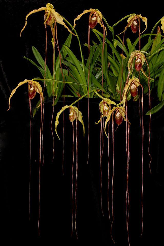 Resultado de imagem para Phragmipedium caudatum