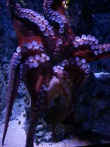 Oktopus at Den Blå Planet
