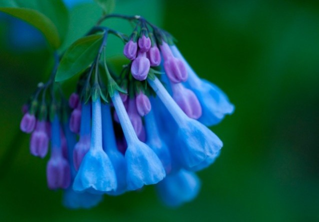 NEW-HOME-GARDEN-Plants-200-PCS-Beautiful-Magic-Virginia-Bluebells-outdoor-perennial-bonsai-rare-flower-seeds.jpg_640x640