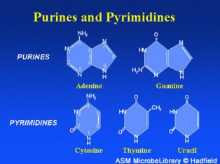 The purine and pyrimidine bases found in nucleic acids like DNA and RNA