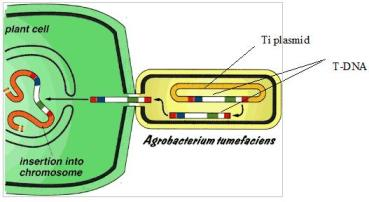 Cartoon of Agrobacteria transfer of genes into wounded plant cell.