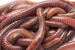 Cousin to the earthworm? Fact or Fiction?