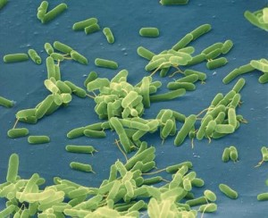 Bacterial cells.