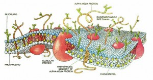 The cell membrane.