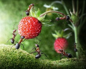 Ants picking strawberries. Sounds reasonable, doesn't it?